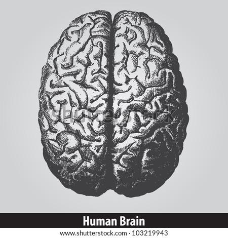 Vintage human brain - ...