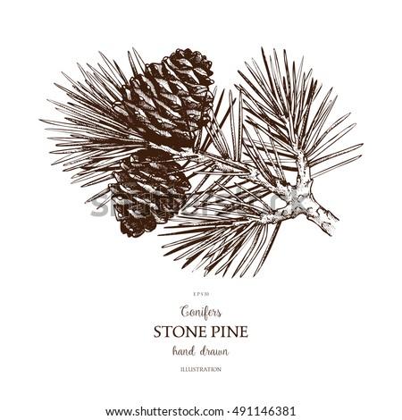 vintage stone pine illustration....