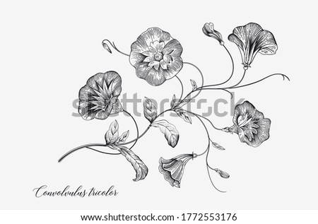 Vintage vector botanical illustration. Convolvulus tricolor. Black and white