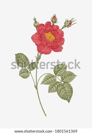 Vintage vector botanical illustration. Red Garden Rose.
