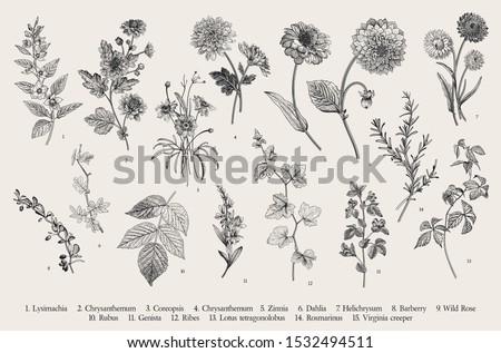 vintage vector botanical