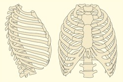 Vintage vector illustration of human rib cage with spine
