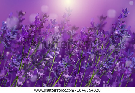 violet lavender field flowers