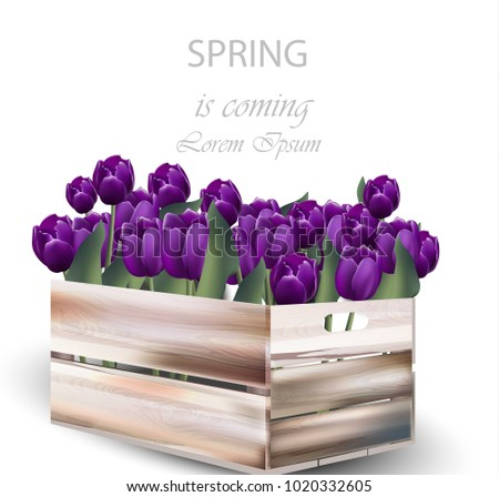 violet tulip flowers box vector