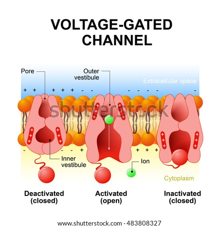 Voltage-gated channels. inactivation gate, deactivation and activation ion channel. Open and close gate. Interior of the cell is negatively charged, the exterior is positively charged and vice versa