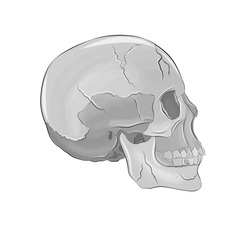 volume of the human skull