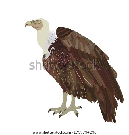 Vulture vector illustration isolated on white background. Big bird symbol. Griffon vulture zoo attraction. Foto stock ©