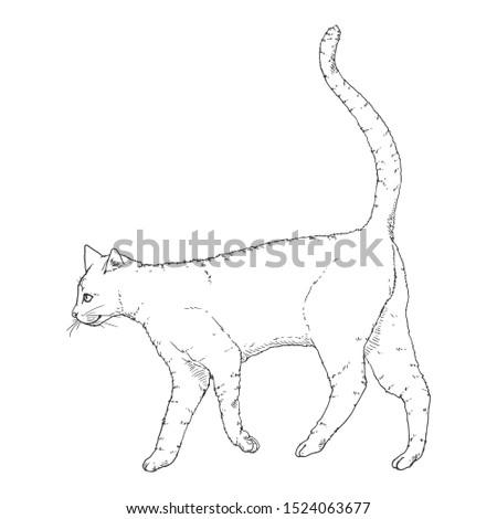 Walking Cat. Vector Black Sketch Feline Illustration