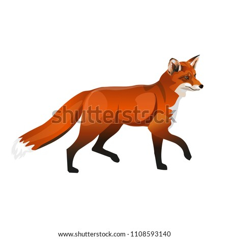 walking red fox side view