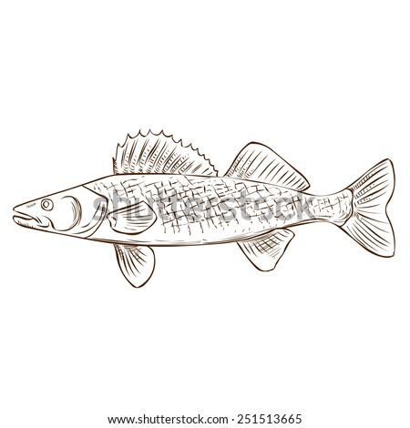 Walleye Hand Drawn Vector Illustration Isolated On White Ez Canvas