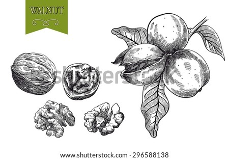 walnuts, set of sketches made by hand