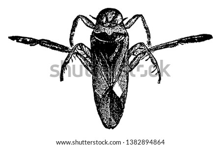 Water Boatman is a notenecta species and which  is a family of aquatic insects in the order Hemiptera, vintage line drawing or engraving illustration.