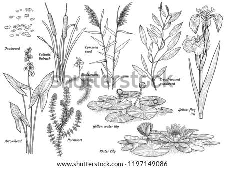 Water, lake, river, swamp plants colelction, illustration, drawing, engraving, ink, line art, vector Foto stock ©