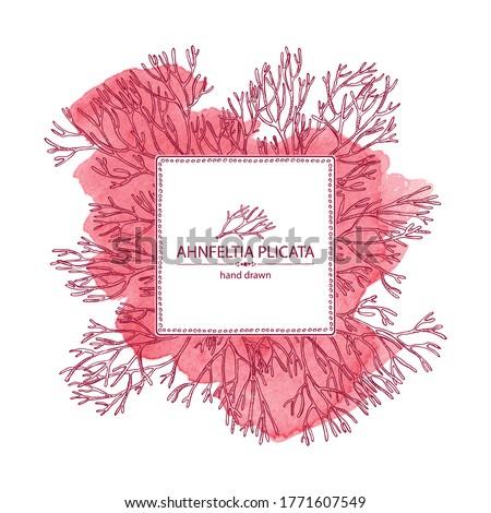 Watercolor background with ahnfeltia plicata: ahnfeltia plicata seaweed, sea kale.  Red algae. Agar agar. Edible seaweed. Vector hand drawn illustration. Stock fotó ©