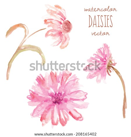 Watercolor Daisy Vector Flowers. Pink Painted Daisy Vector