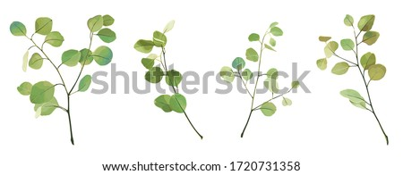 watercolor eucalyptus plant branches, vector graphics set, trees twigs with leaves