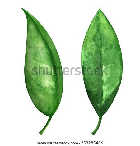 watercolor green tea leaves set