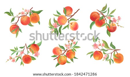 Watercolor Peach vector branches set. Hand drawn fruit, flowers, leaves and sliced pieces. Summer fruits illustration for scrapbook, label, poster, print, menu