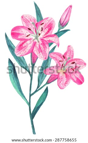 watercolor pink lily flowers