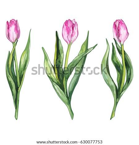 watercolor pink tulip flower