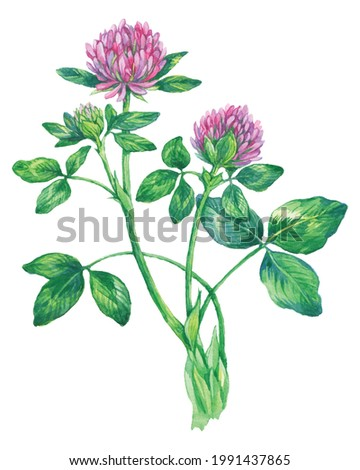 Watercolor Red Clover isolated on a white background. Hand drawn herb illustration. Vector picture Photo stock ©