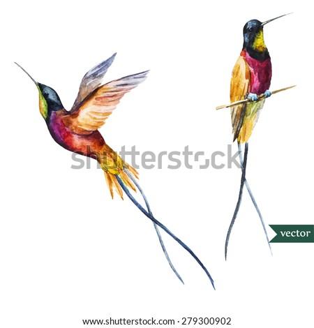 watercolor vector drawing  hummingbird,  long tail