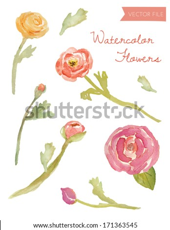 Watercolor Vector Ranunculus and Flowers