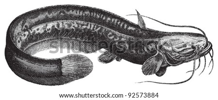 Wels catfish (Silurus glanis) / vintage illustration from Meyers Konversations-Lexikon 1897