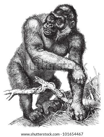 western gorilla  gorilla
