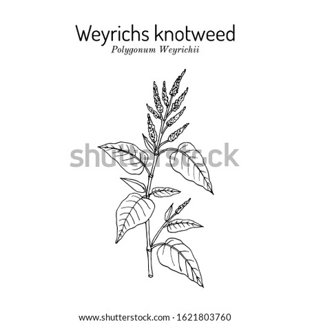 Weyrichs or chinese knotweed (Polygonum weyrichii), medicinal plant. Hand drawn botanical vector illustration