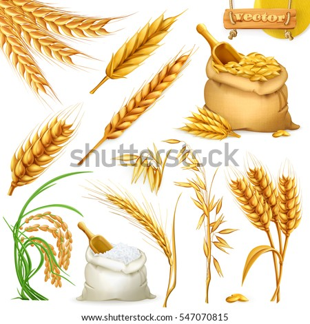 wheat  barley  oat and rice