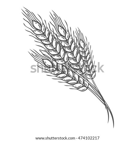 Wheat bread ears cereal crop sketch hand drawn vector illustration. Black ear isolated on white background. Gluten food ingredient engraving retro vintage style.