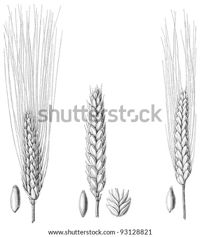 Wheat collection / vintage illustration from Meyers Konversations-Lexikon 1897