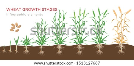 wheat growth stages from seed