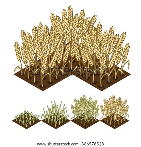 wheat isometric illustration