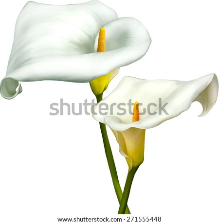 white calla lily isolated on a