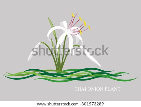 white crinum  onion plant  thai