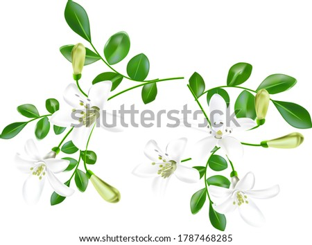 white flowers of bergamot plant