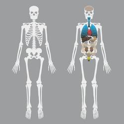 white human bones skeleton with human organs eps10