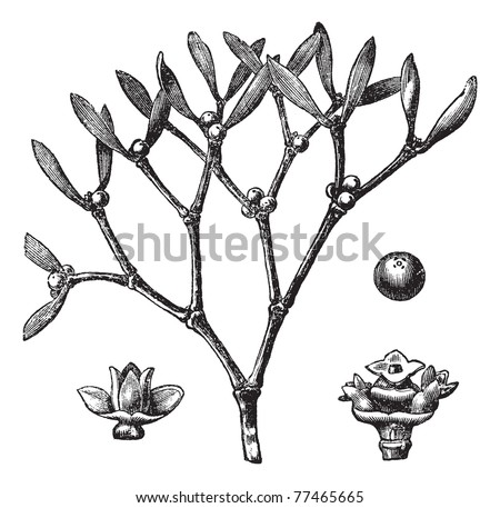 White mistletoe (Viscum album)  or European mistletoe or common mistletoe vintage engraving. Old engraved illustration of white mistletoe. Trousset Encyclopedia.
