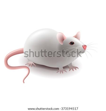 white rat isolated on white