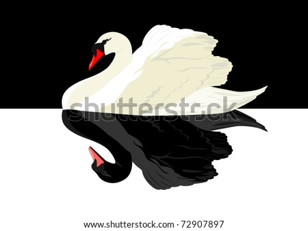 white swan on a black