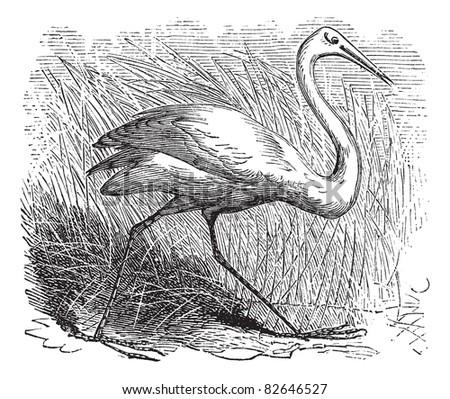 whooping cranes  grus americana ...