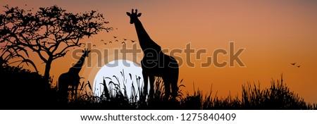 wild african safari giraffe