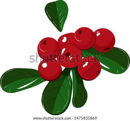 Wild berry cranberries (Vaccinium vitis-idaea). Ripe wild lingonberries. Wild berry cranberries. Lingonberries. Berries of wild cowberry. Cranberries isolated. Cranberry on white. Full depth of field.