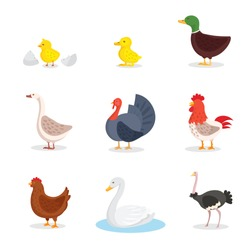 Wild birds and fowl flat illustrations set. Little yellow chick and egg shell isolated clipart. Domestic chicken, duck, hen and rooster. Exotic ostrich and white swan in pond cartoon drawing