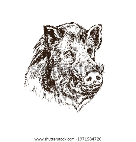 Wild boar (Sus scrofa) pig muzzle,  gravure style ink drawing illustration isolated on white Photo stock ©