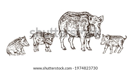 Wild boar (Sus scrofa) pig standing with small piglets,  gravure style ink drawing illustration isolated on white Photo stock ©