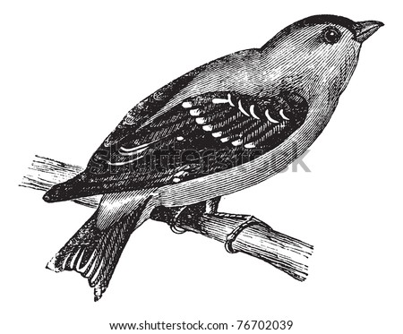 Wild Canary or American Goldfinch or Eastern Goldfinch, vintage engraving. Old engraved illustration of a Wild Canary. Trousset Encyclopedia