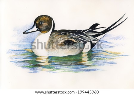 wild duck picture vector